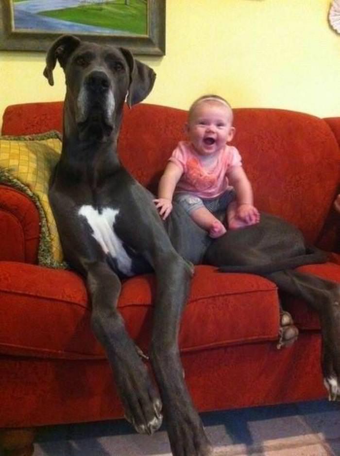 כלבים ענקיים