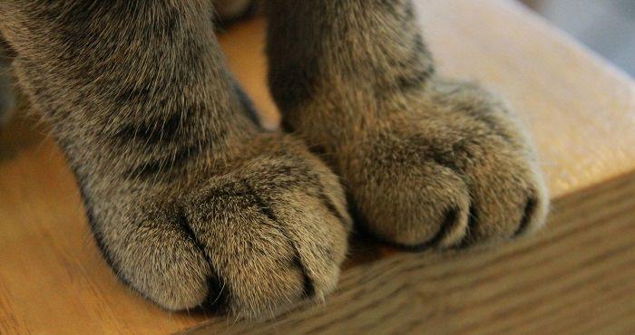 כפות רגליים של חתול