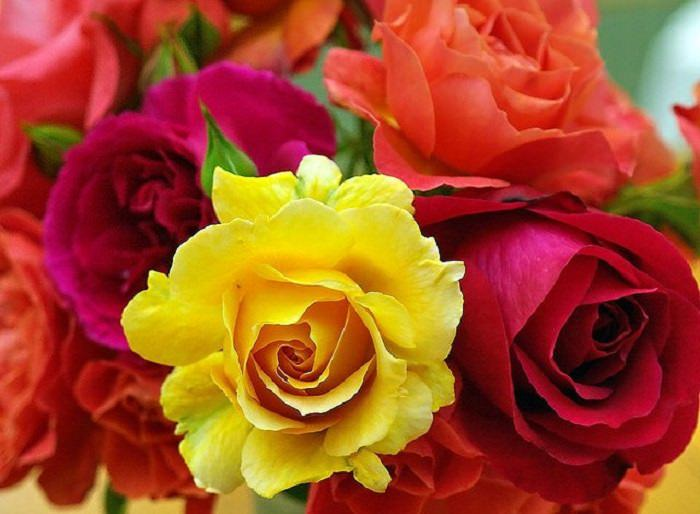 צבעי ורדים
