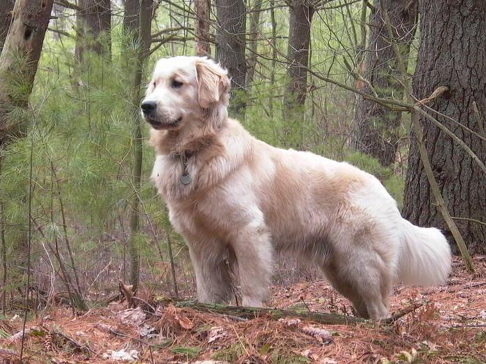 זני כלבים מ-א' ועד ת': גולדן רטריבר