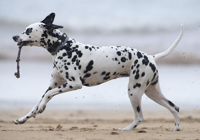 זני כלבים מ-א' ועד ת': דלמטי