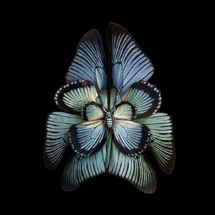 פרפרים דומים לפרחים