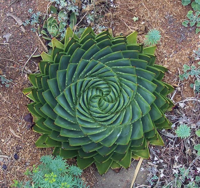 צמחים סימטריים
