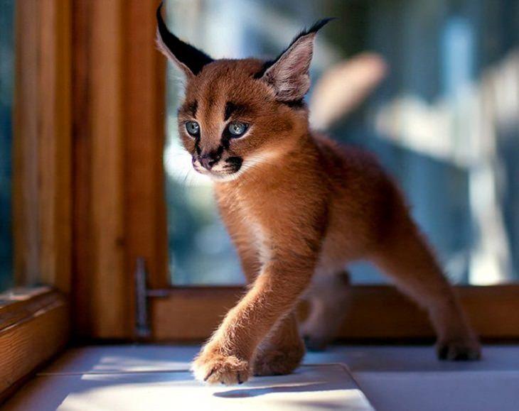 החתולים היפים ביותר