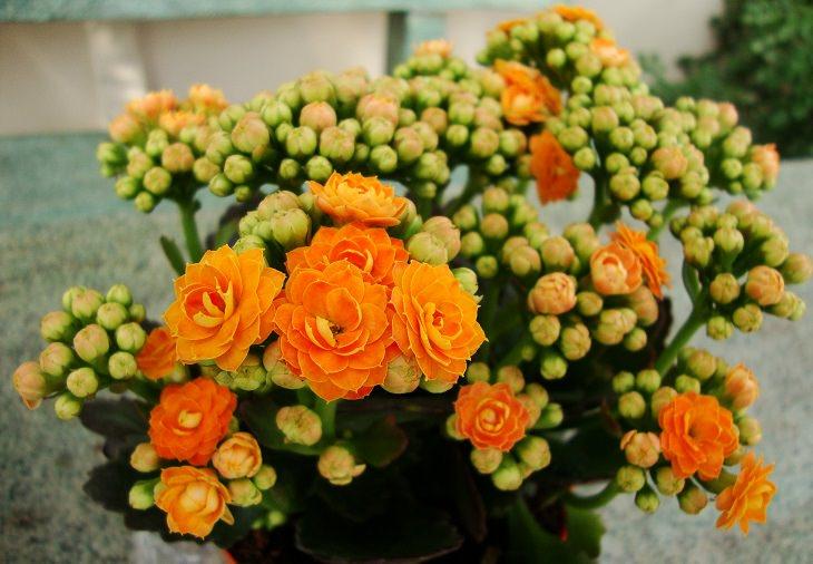 צמח הניצנית עם פריחה בעלת עלי כותרת כתומים