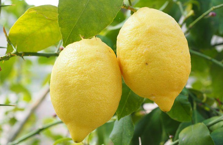 שימושים שונים ללימון: לימונים על העץ