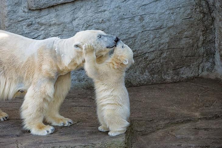 גור דובים מנשק את אמא שלו