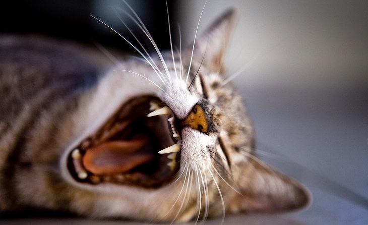 חתול מפהק