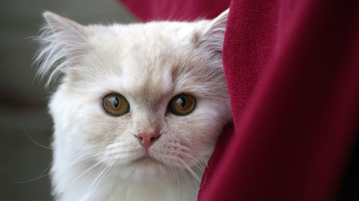 חתול לבן מתבונן למצלמה