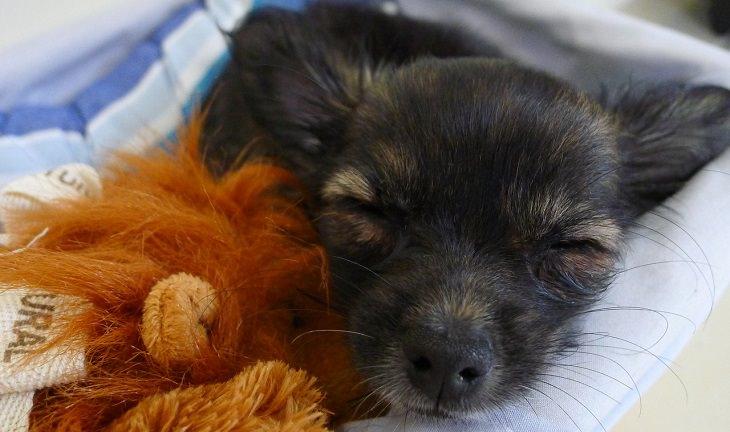 כלב קטן ישן מחובק עם בובה