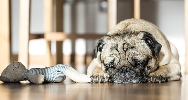 כלב ישן על הרצפה לצד בובה
