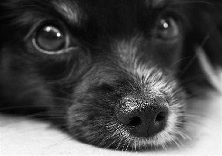 תקריב לפניו של כלב בשחור לבן