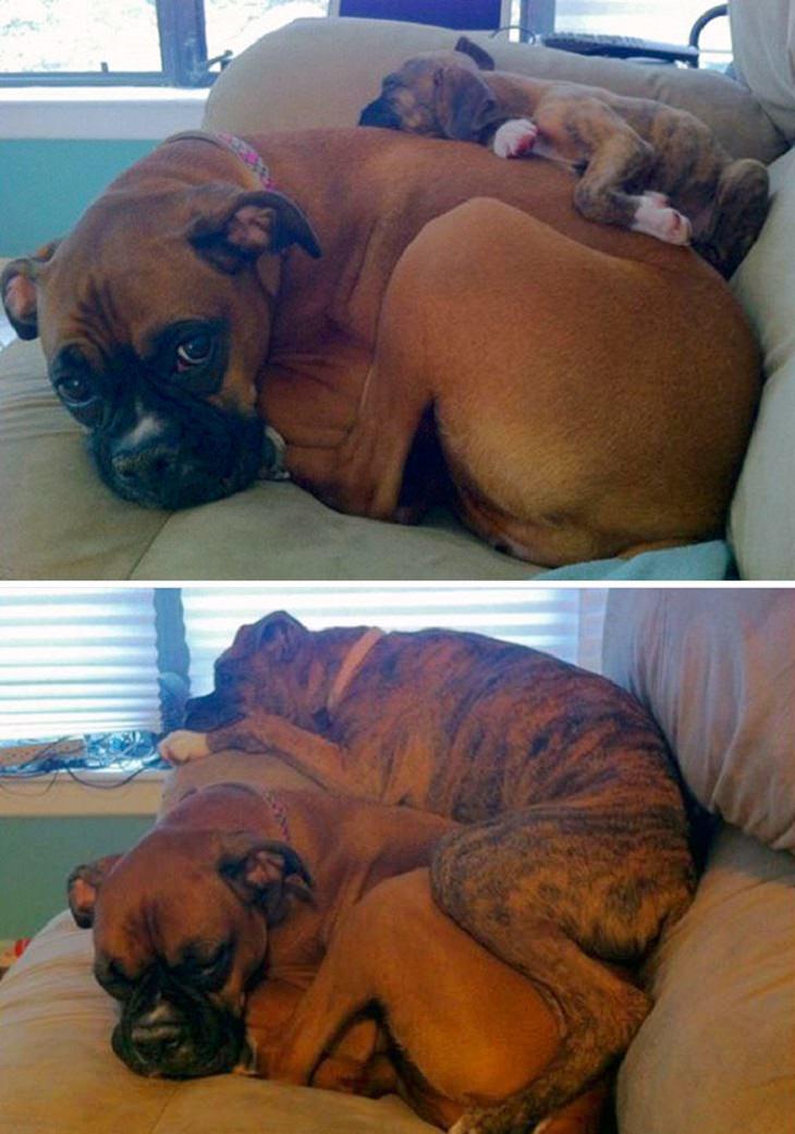 כלבים ישנים בצמידות