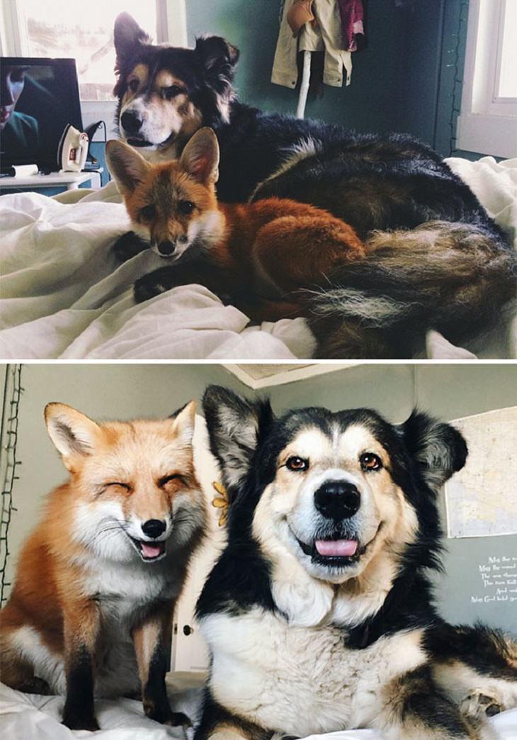 שועל וכלב