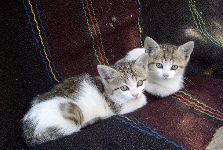 יתרונות בריאותיים של מגדלי חתולים:  שני חתלתולים יושבים על ספה