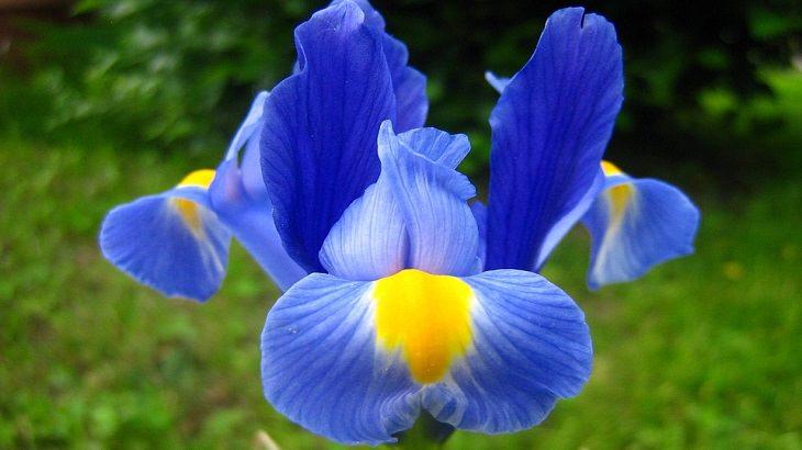 מדריך לגידול פרחים: אירוס