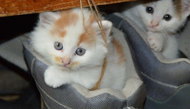 סימנים למחלה אצל חיות מחמד: חתלתולים בתוך נעליים