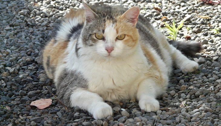 סימנים למחלה אצל חיות מחמד: חתול שמן