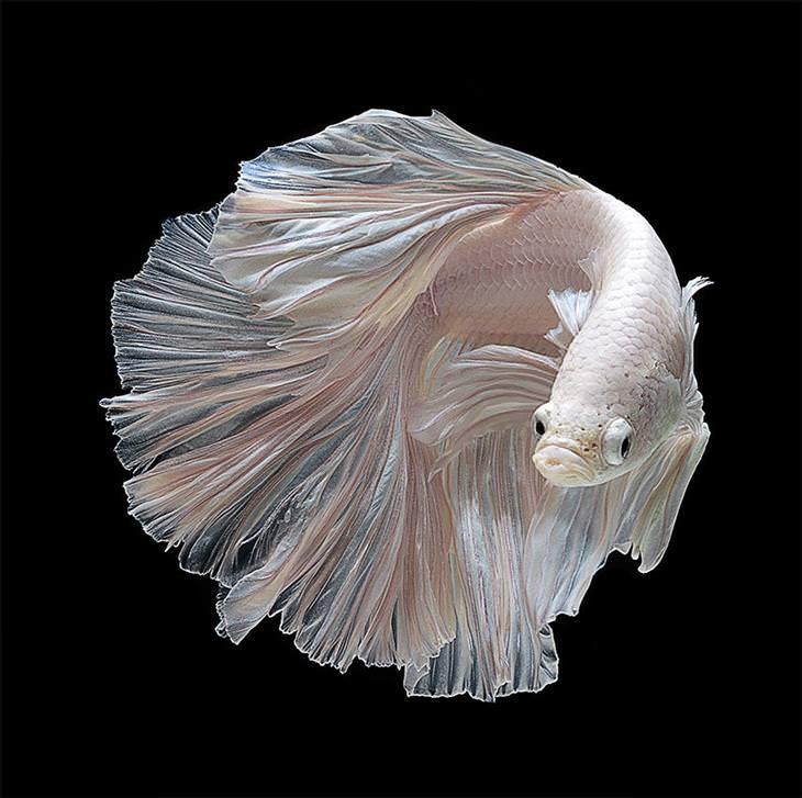 דגי קרב סיאמיים