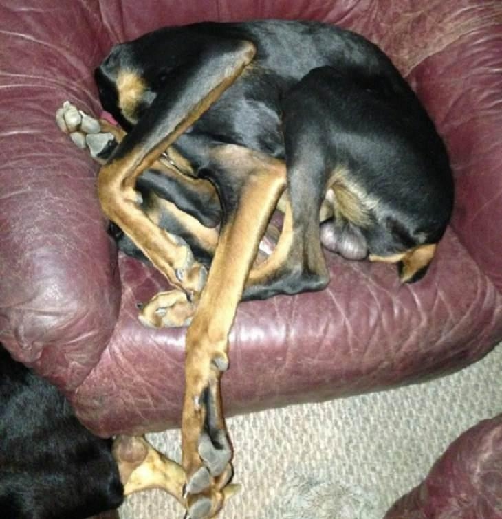 כלב שכל רגליו מעורבבות אחת בשנייה