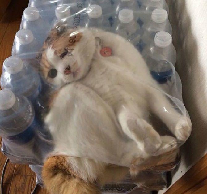 חתול נכנס לתוך קרטון בקבוקי מים עטוף בניילון
