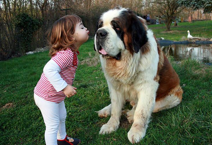ילדה מנשקת כלב סן ברנרד