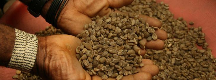 ידיים מרימות חופן פולי קפה