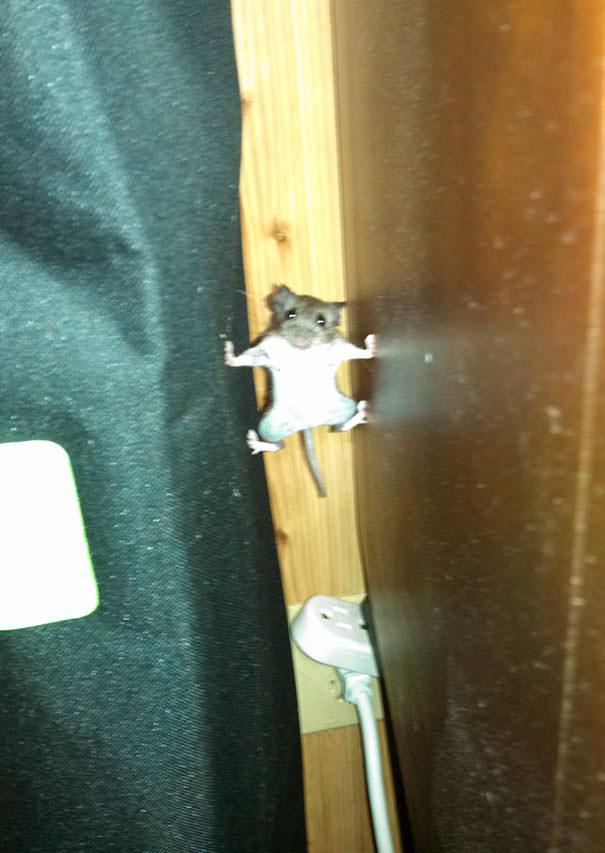 עכבר מטפס בין רהיטים בעזרת רגליו