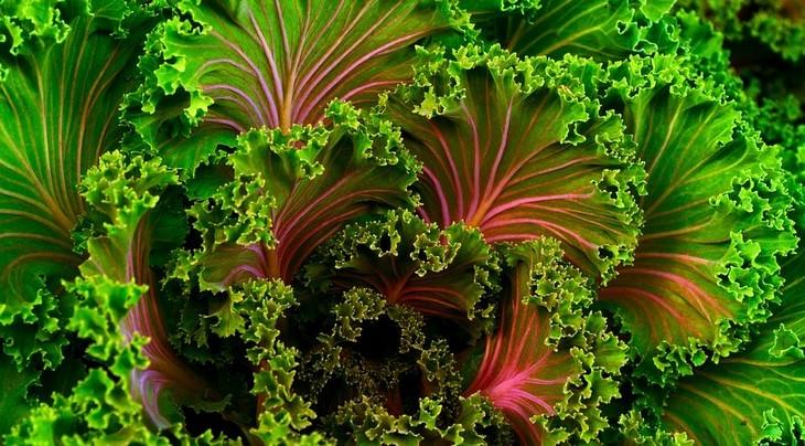 מזונות על למניעת אלצהיימר: כרוב קייל