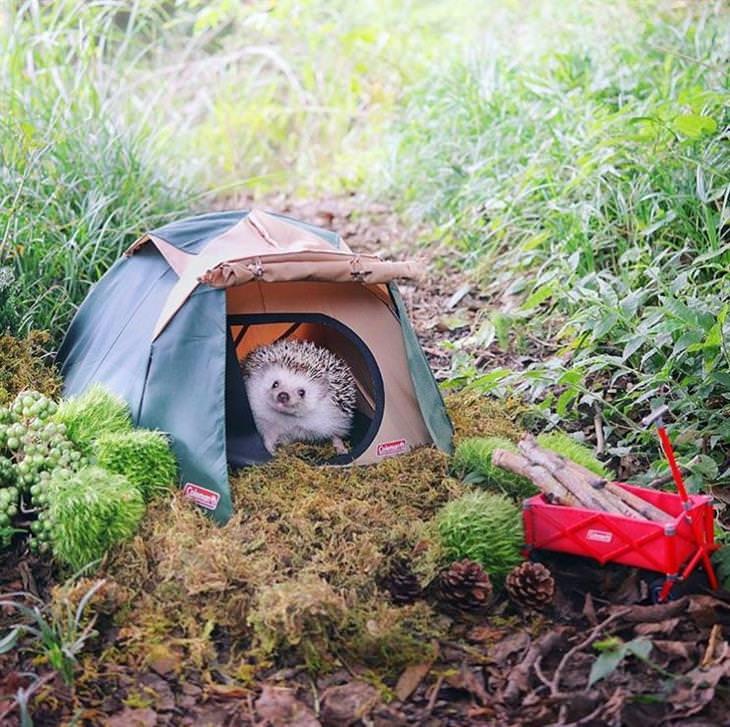 אזוקי הקיפוד הדוגמן: קיפוד בתוך אוהל קטן