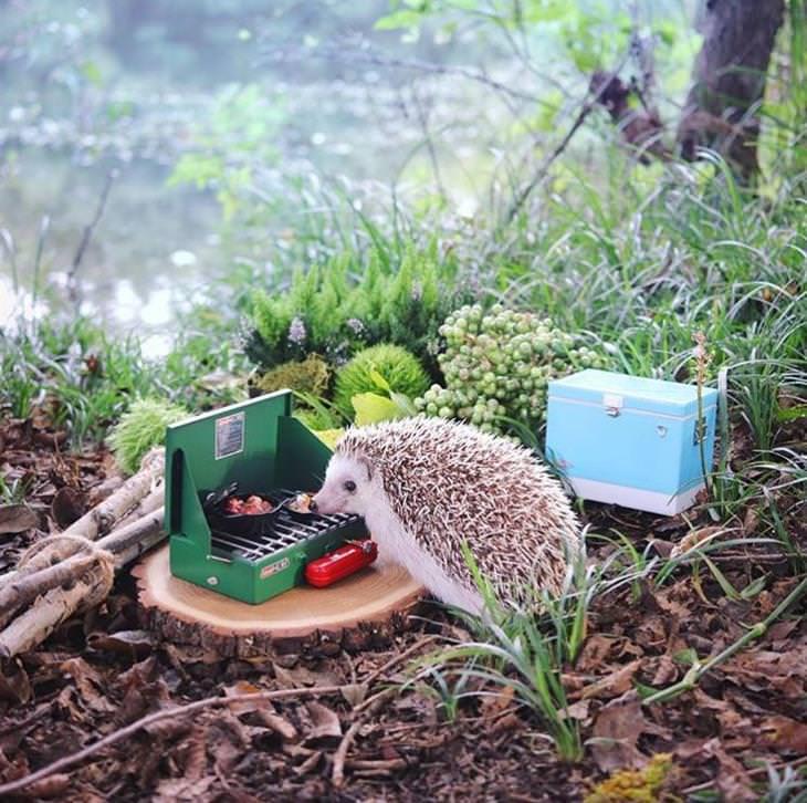 """אזוקי הקיפוד הדוגמן: קיפוד """"מכין אוכל"""" על מנגל קטן"""