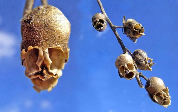 צמחים מפחידים: פירות לוע הארי