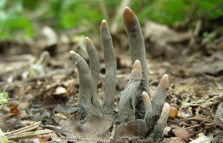 צמחים מפחידים: אצבעות האיש המת