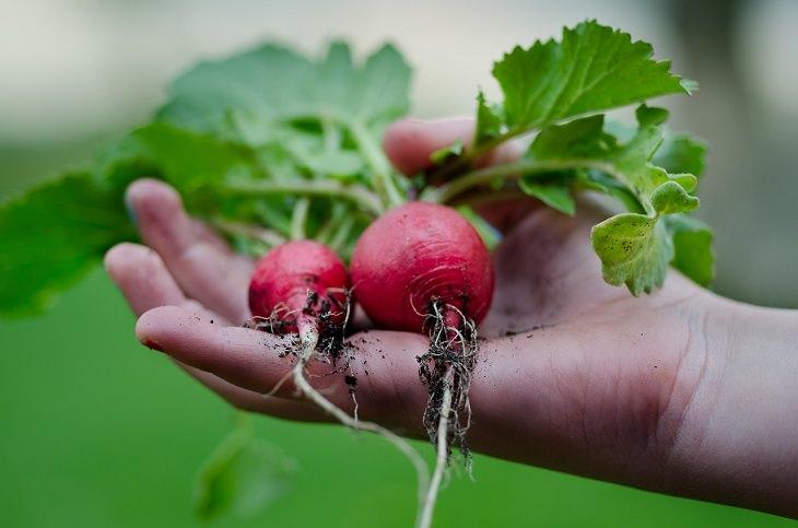 יתרונותיו הבריאותיים של הצנון: יד מחזיקה צנונים