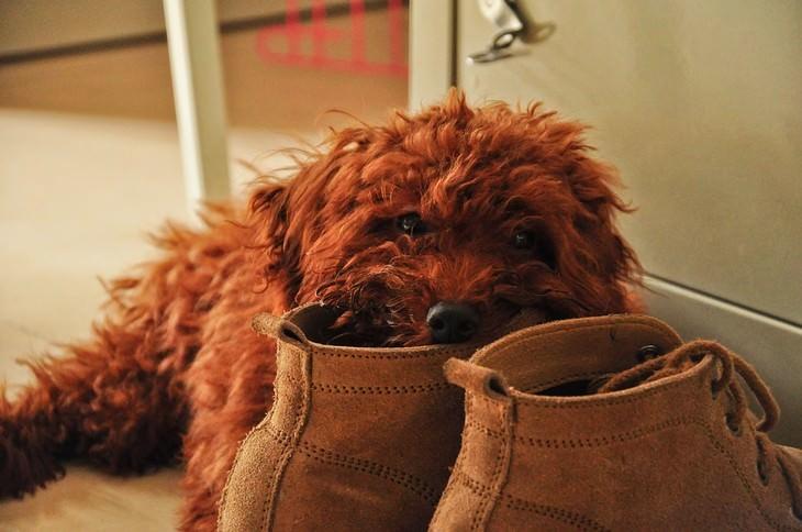 סימנים לכך שהכלב שלכם אוהב אתכם: כלב נושך נעל