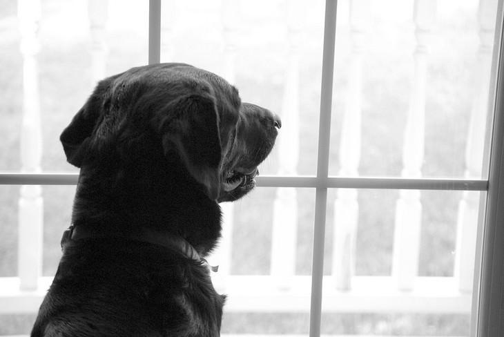 סימנים לכך שהכלב שלכם אוהב אתכם: כלב מביט החוצה מחלון