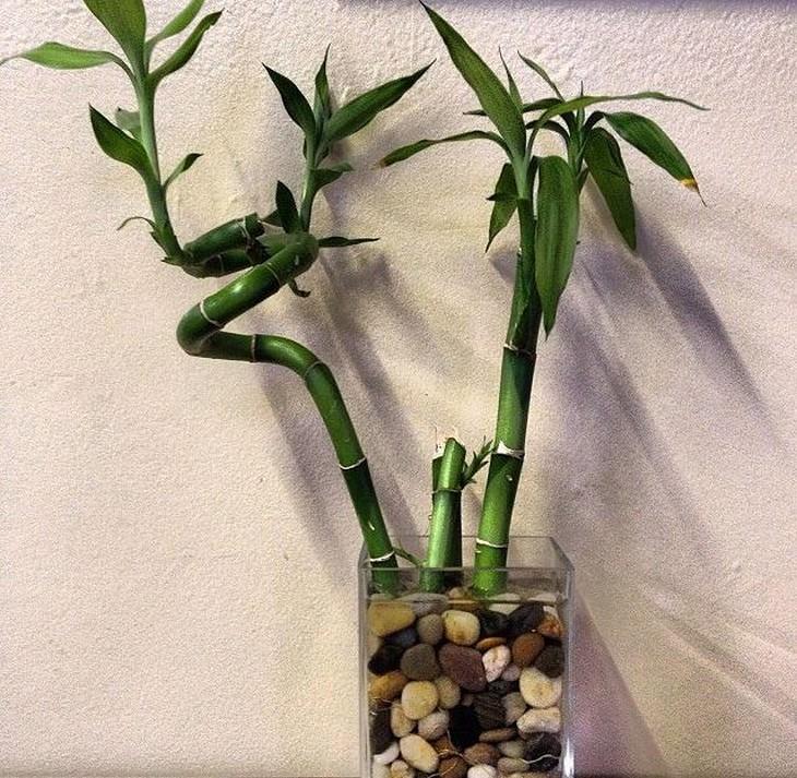 צמחים שדורשים השקיה מועטה:  דרקונית בראון