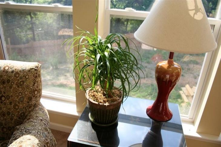 צמחים שדורשים השקיה מועטה: נולינה מופשלת