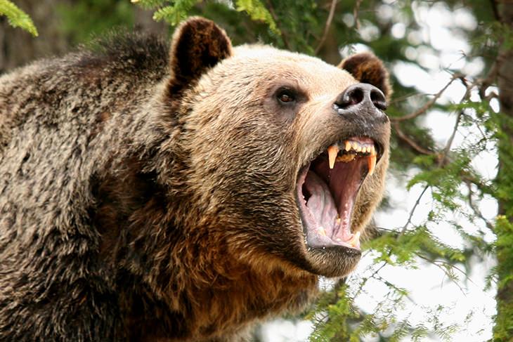 תמונות ילדות של חיות טורפות: דוב