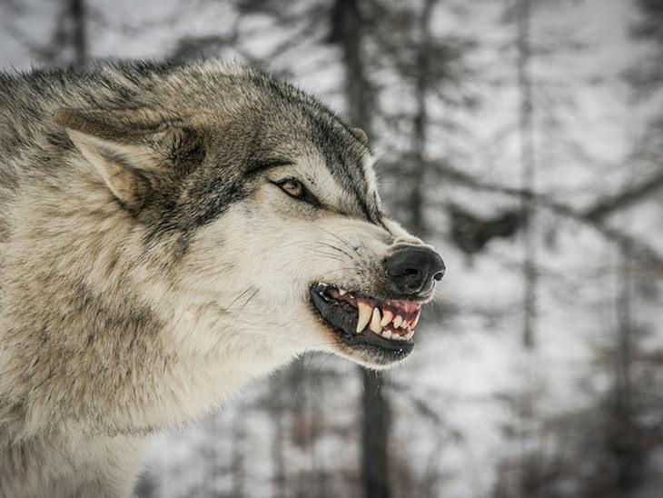 תמונות ילדות של חיות טורפות: זאב