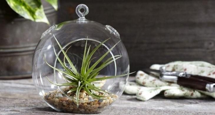צמחים שדורשים השקיה מועטה: טילנדסיה