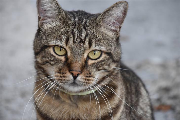 סימני אזהרה לסרטן אצל חתולים: חתול מביט למצלמה