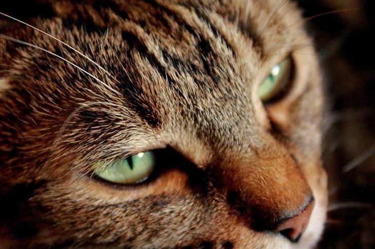 סימני אזהרה לסרטן אצל חתולים: תקריב לפניו של חתול