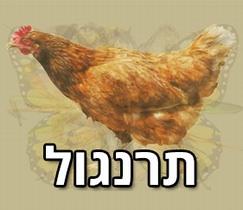 מה החיה הראשונה שתראו תגיד עליכם: תרנגול