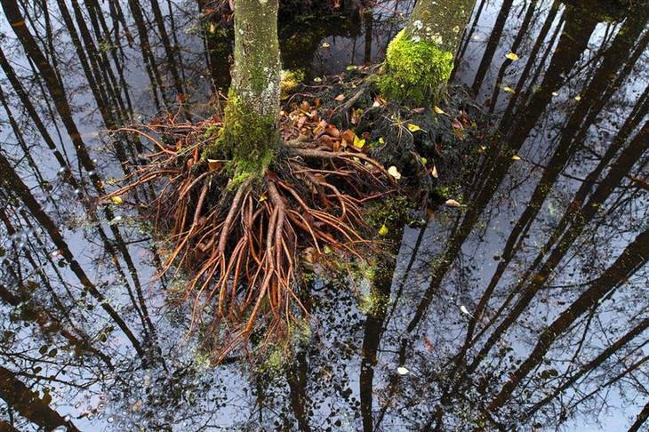תחרות הצילום של אגודת צלמי הטבע הגרמנית לשנת 2017: שורשים של עץ ולידם השתקפות במים של יער שלם