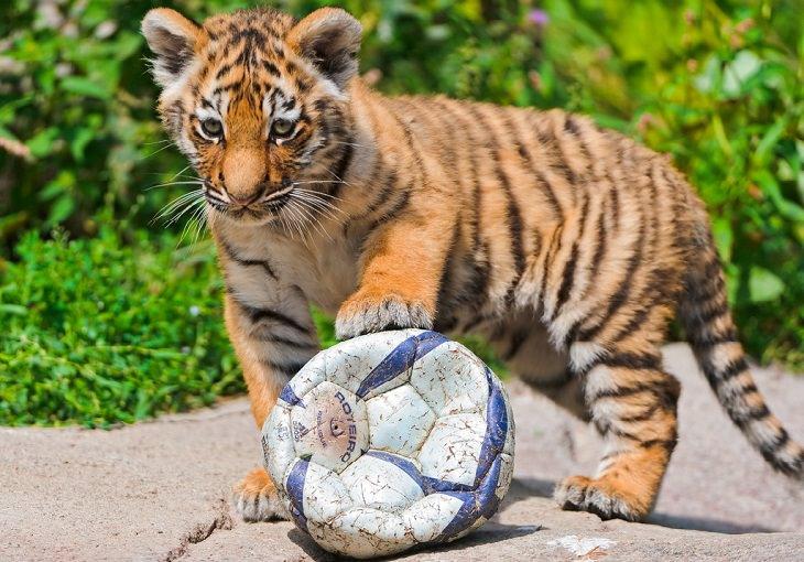 גור טיגריס עם כדורגל
