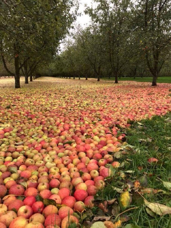 תמונות של איתני טבע: מרבד של תפוחים