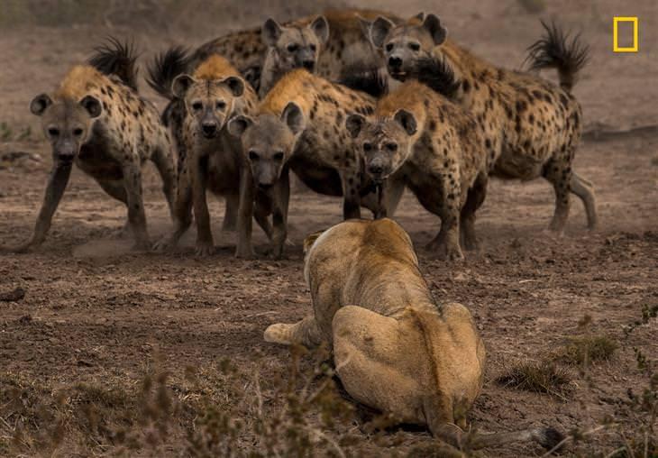 תמונות טבע מתחרות הצילום של נשיונל ג'יאוגרפיק 2017: לביאה מול להקת צבועים