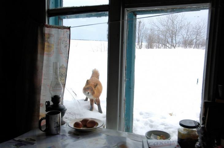 תמונות מדהימות: שועל בשלג מביט אל תוך בית