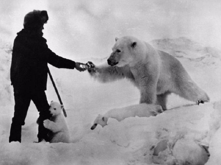 תמונות היסטוריות: חוקר קוטב מגיש פחית חלב מרוכז לדוב קוטב.